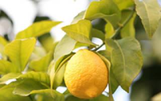 Как выращивать лимон