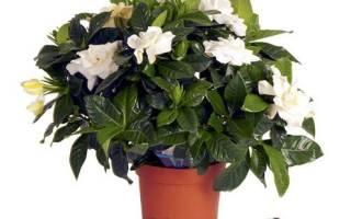 Домашний цветок с белыми цветами название