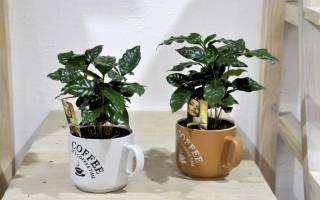Кофе уход в домашних условиях