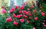 Как размножить плетистую розу отводками