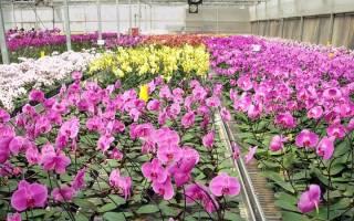 Как размножить орхидею черенками