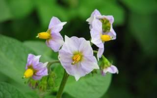 Цветки картофеля в народной медицине