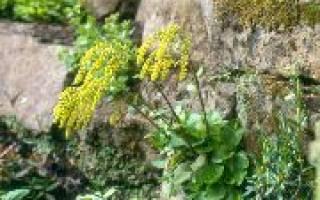 Многолетние цветы желтого цвета