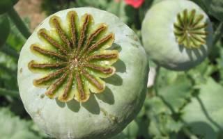 Как отличить мак декоративный от опиумного