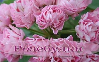 Розебудная герань