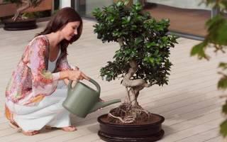 Денежное дерево польза и вред