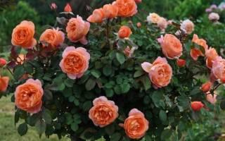 Чем удобрять розы для буйного цветения
