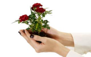 Как вырастить розу из цветка