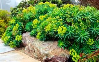Молочай садовый многолетний посадка и уход
