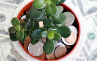 Как развести денежное дерево