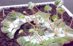 Как размножить клубневую бегонию