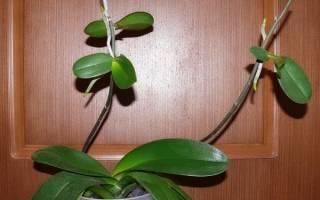 Как пересадить детку орхидеи