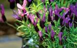 Лаванда когда цветет