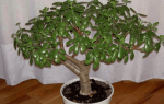 Грунт для денежного дерева в домашних условиях