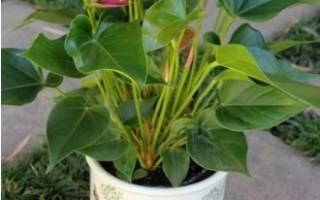 Антуриум комнатное растение