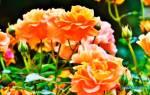 Грунт для розы садовой