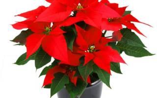 Цветок с красными прожилками на листьях название