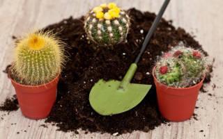 Как посадить кактус в домашних условиях