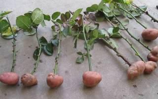 Как укоренить розу в картошке дома