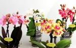 Орхидея фаленопсис мини уход в домашних условиях