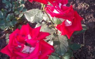 Роза александра кентская