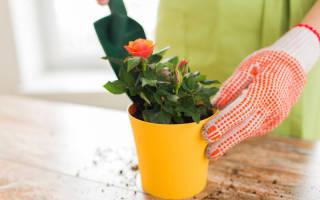 Как укоренить розу из букета в домашних