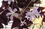 Фиолетовый домашний цветок