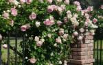 Обрезка плетистых роз после цветения