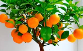 Уход за мандариновым деревом в домашних условиях