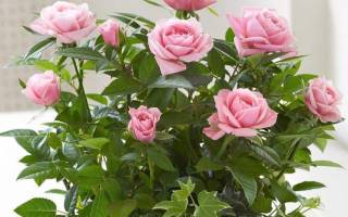 Почему желтеют листья у розы комнатной