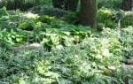 Тенелюбивые деревья и кустарники