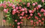 Какого цвета бывают розы