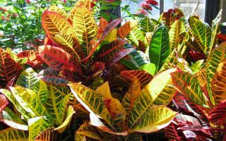 Растение кротон все о нем