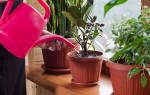 Как часто поливать фикус в домашних условиях