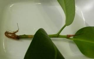 Размножение фикуса в домашних условиях