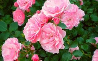 Как выглядит чайная роза