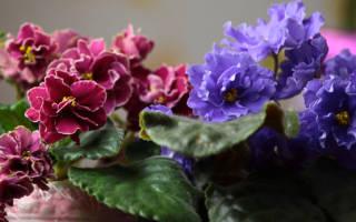 Как заставить цвести фиалки в домашних условиях