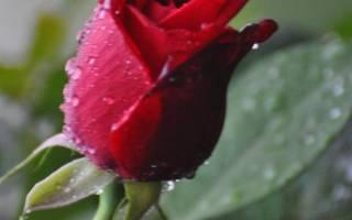 Почему у розы не раскрываются бутоны