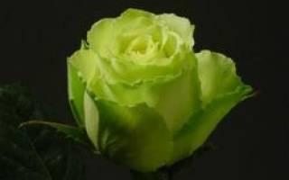 Желто зеленые розы