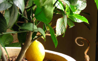 Когда можно пересаживать лимон в домашних условиях