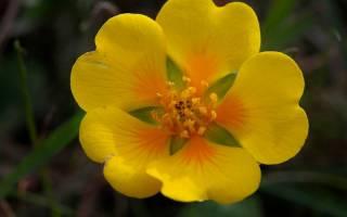 Лапчатка летний мотив выращивание из семян