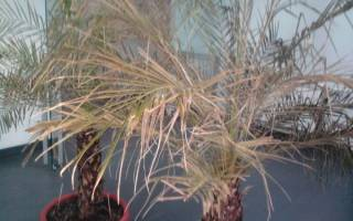 У пальмы желтеют листья что делать