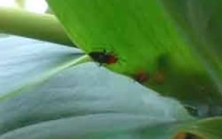 Вредители орхидей фаленопсис и их лечение