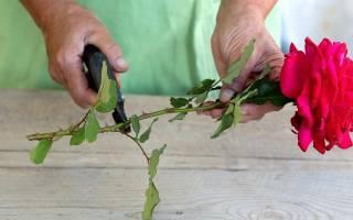 Роза из букета дала отросток как посадить