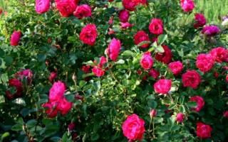 Роза джон франклин