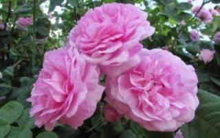 Чайная роза цветок
