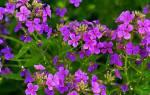 Ночная фиалка цветок название