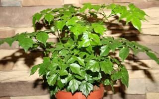 Змеиное дерево комнатное растение