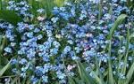 Цветок незабудка описание