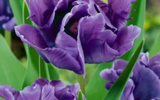 Тюльпан блю пэррот